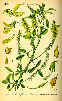 Illustration Melilotus officinalis0