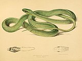Illustrations of the zoology of South Africa (6263858468).jpg