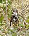 Immature Common Hawk Cuckoo (Hierococcyx varius) - Flickr - Lip Kee.jpg