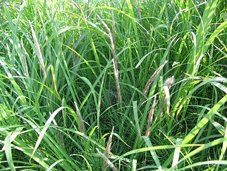 Shuklaphanta National Park - Imperata cylindrica is one of the main grass species found in the park's phantas