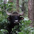 Indian Bison (Gaur).jpg