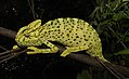 Indian Chameleon Chamaeleo zeylanicus by Dr. Raju Kasambe DSCN7134 (16).jpg