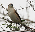 Indian Silverbill (Lonchura malabarica) on Acacia W IMG 0014.jpg