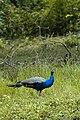 Indian peafowl in Wayanad WLS.jpg