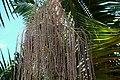 Infrutescencia de palma de Cunningham (Archontophoenix cunninghamiana) (14788027534).jpg