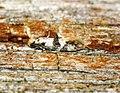 Infurcitinea atrifasciella (28719922212).jpg