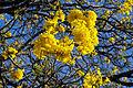 Ipê amarela flor.jpg