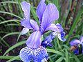 Iris001.jpg