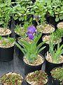 Iris aphylla - Flickr - peganum (1).jpg