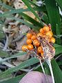 Iris foetidissima fruits.JPG
