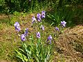 Iris in Ukraine (may 2016) 2.jpg