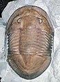 Isotelus maximus fossil trilobite (Upper Ordovician; Oldenburg, Indiana, USA) (17386814225).jpg
