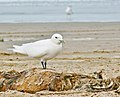 Ivory Gull, central coast of California.jpg