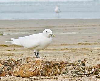 Central Coast (California) - Seagull On The Beach
