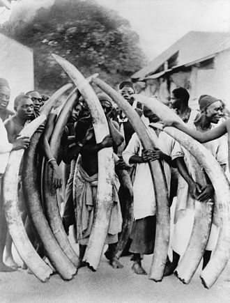 Ivory trade - Men with ivory tusks from the African elephant, Dar es Salaam, Tanzania