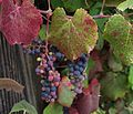 J20160823-0021——Vitis californica x vinifera 'Rogers Red'—1354 Lincoln (29298569515).jpg