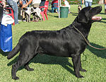 """A black Labrador Retriever at a confirmation show."""