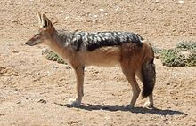 Jackal Cape cross 2009.JPG