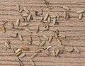 Jacobaea vulgaris subsp. vulgaris achenes, Jakobskruiskruid nootjes.jpg