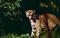 "Jaguar (Panthera onca) male in ""Flehmen"" attitude (10532799004).jpg"