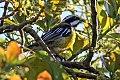 Jamaican Spindalis (Spindalis nigricephala) (8082124930).jpg
