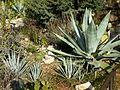 Jardin botanique de Nice - Agave.jpg