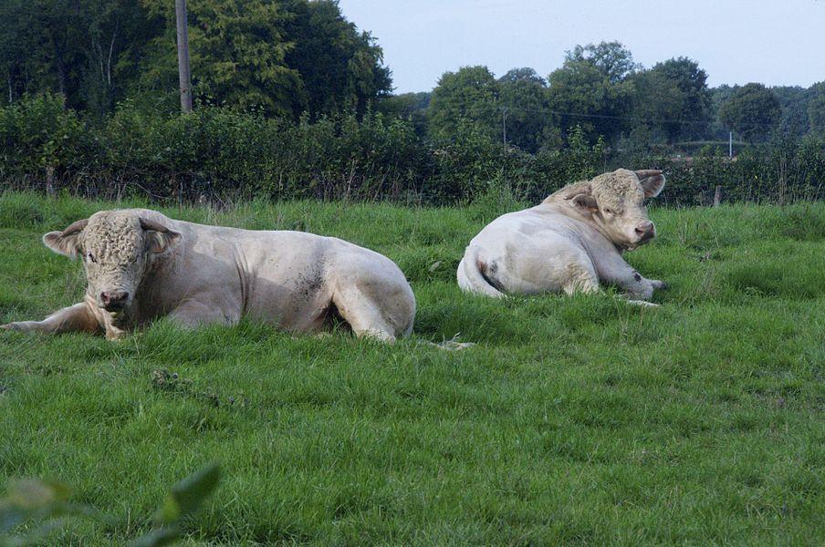 Jeunes taureaux charolais, La Celle Sur Nièvre, Nièvre, France