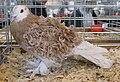 Jielbeaumadier pigeon frise grison jaune agr paris 2013.jpeg