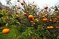 John and Rachel's orange trees (3298871270).jpg