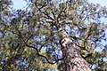 Josey Boy Scout Lodge Pine Trees.jpg