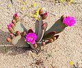 Joshua Tree National Park - Beavertail Cactus (Opuntia basilaris) - 11.jpg