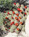 Joshua Tree National Park - Mojave Mound Cactus (Echinocereus triglochidiatus) - 04.JPG