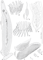 Journal.pone.0079155.g007 Lethacotyle vera, holotype.png