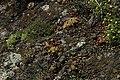 Jovibarba globifera in natural monument Calvary in Motol in spring 2012 (5).JPG