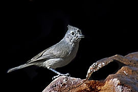 Juniper Titmouse.jpg
