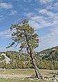 Juniperus excelsa - Greek juniper 03.jpg