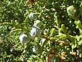 Juniperus osteosperma (7352405376).jpg