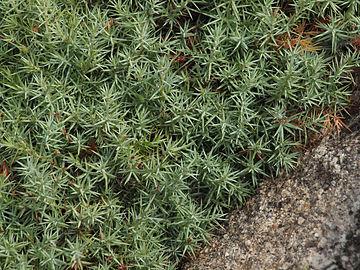 Juniperus oxycedrus 20130828 1.jpg