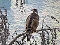 Junvenile Bald Eagle (15229383275).jpg