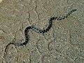 Juvenile Lampropeltis getula getula (Eastern King Snake).jpg