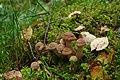 Külmaseened (Armillaria spp.).jpg