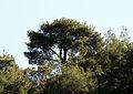 Kızılçam - Pinus brutia 02.jpg