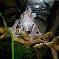 Kameleon jemeński (Chamaeleo calyptratus).jpg