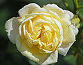 Karl-Ploberger-Rose (Kordes 2007) 01.jpg