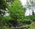 Katsura (Cercidiphyllum japonicum), Vale Grove, Barrmill Park, North Ayrshire.jpg
