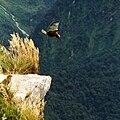 Kea (Nestor notabilis) -Milford Track-4b.jpg