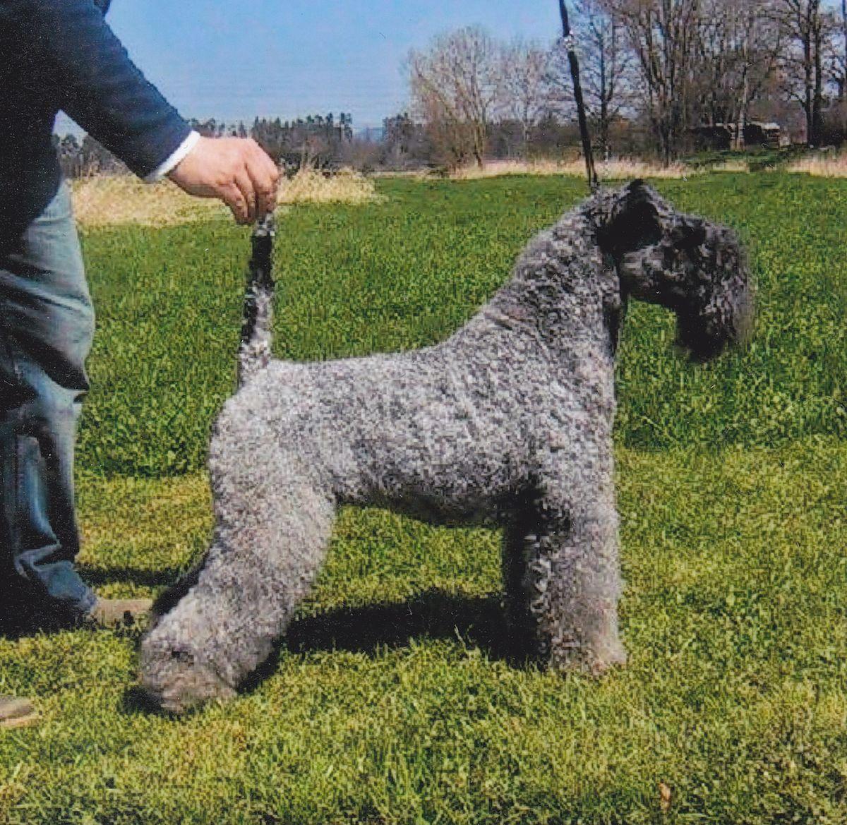 Miniature Kerry Blue Terrier