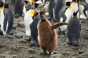 King penguin - King penguin chick
