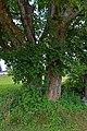 Kirchschlag bei Linz - Naturdenkmal nd366 - Doppelahorn - 1.jpg