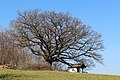 Kirchschlag in der Buckligen Welt - Ungerbach - Naturdenkmal WB-098 - Traubeneiche (Quercus petraea) - I.jpg